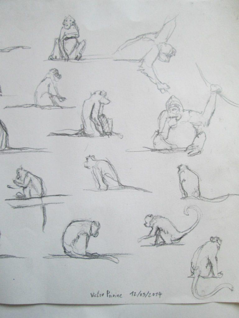 croquis de singes à la ménagerie du jardin des plantes