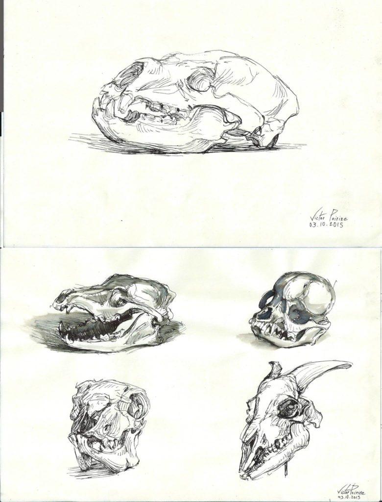 crânes à l\'encre au musée de l\'école vétérinaire de Maison-Alfort (plume)