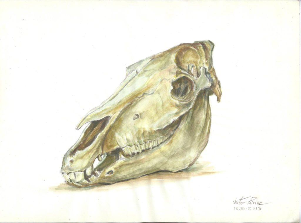 crâne de cheval au musée de l\'école vétérinaire de Maison-Alfort, dessin avec du jus de gouache
