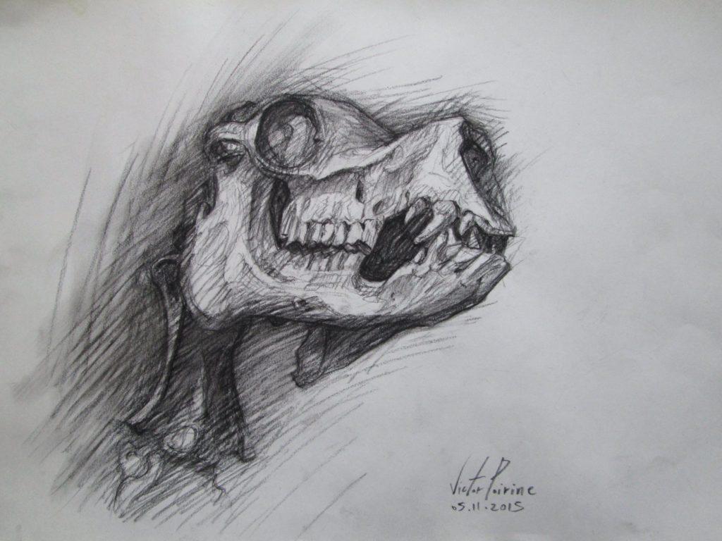crâne de dromadaire au fusain réalisée au musée Fragonard