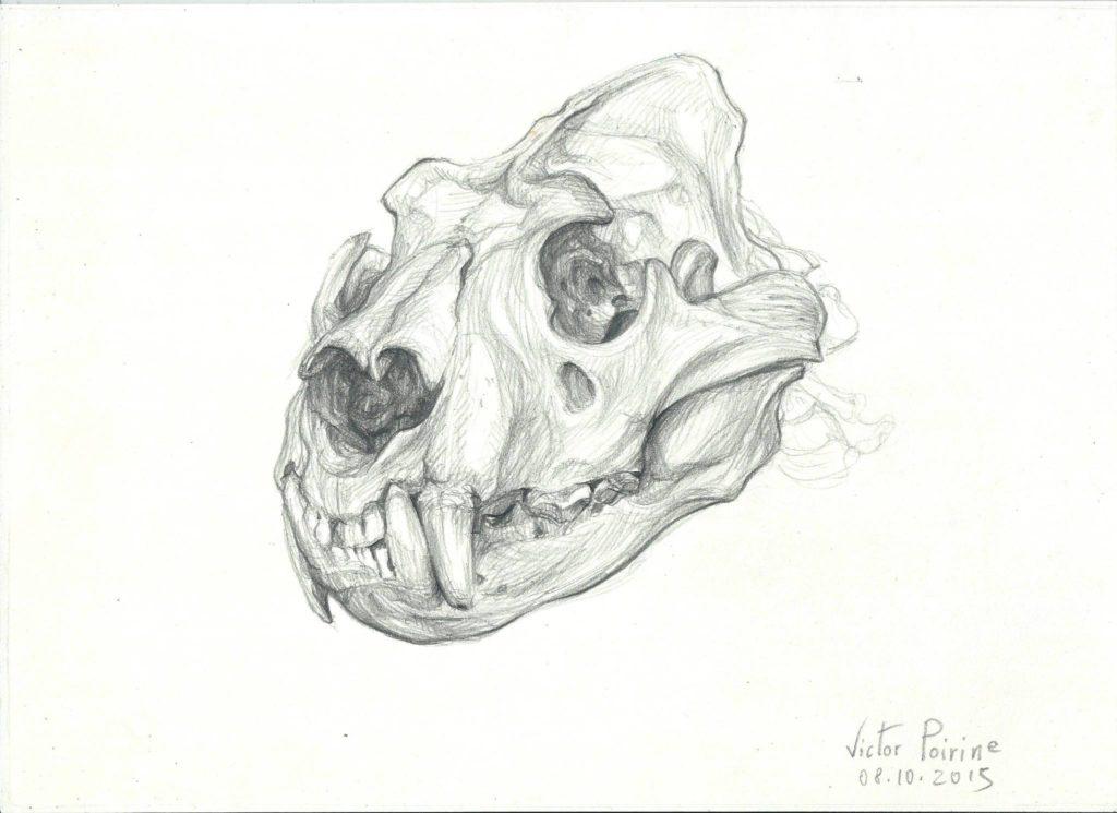 crâne de lion au musée de l\'école vétérinaire de Maison-Alfort