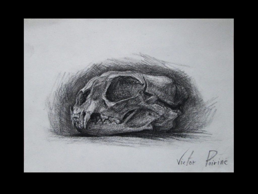 un autre crâne de chat sauvage, au fusain. J\'avais oublié de le poster