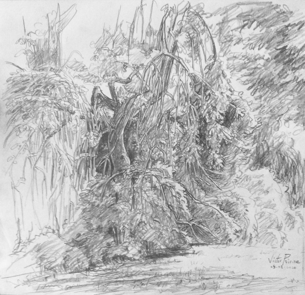 Dessin d'un frêne à Pontmain. introuvable